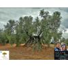 Imagen Apadrina un Olivo - 15 Ltr.  ACEITE_Bio  x 1 año. + REGALO