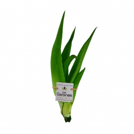 5 Plantines Aloe Vera (1 año)