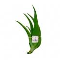 Imagen 5 Plantines Aloe Vera (2 años)