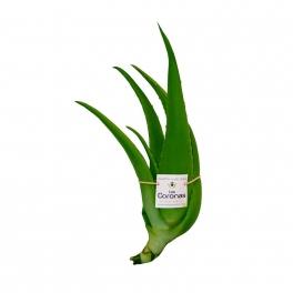 5 Plantines Aloe Vera (2 años)