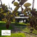 Imagen LOTE CORONADITAS